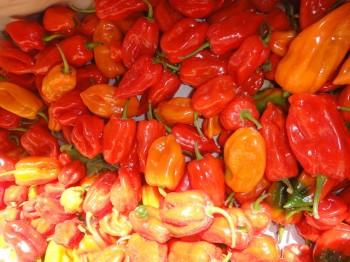 Habanero Peppers at Los Tamarindos Farm