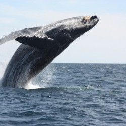 Whale watching off Los Cabos
