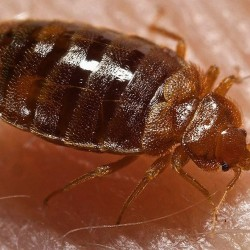 5 Tips for avoiding hotel bedbugs