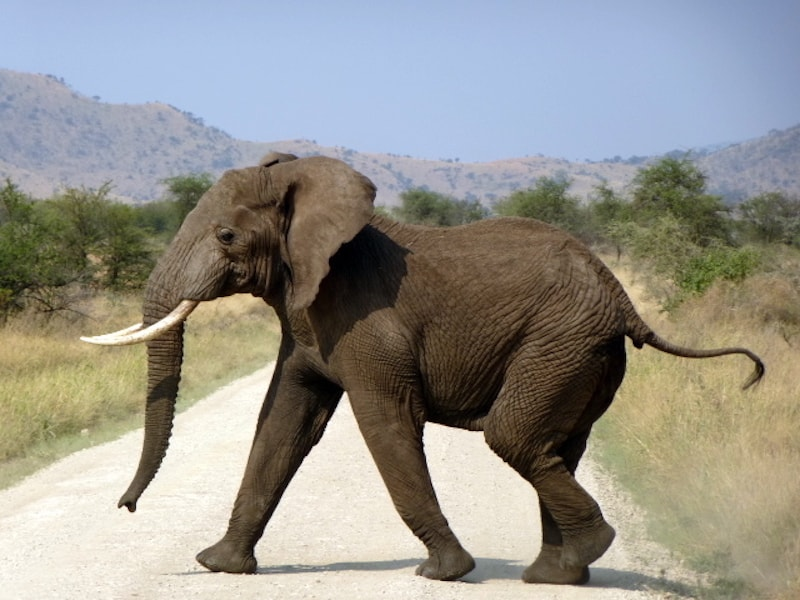 Elephant crossing the road (credit: Jerome Levine)