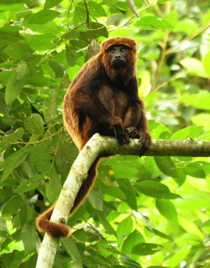 Howler Monkey (Credit: Wikipedia, Paulo Chaves