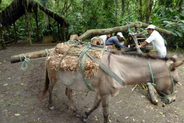 Men extracting sugar cane with the help of a donkey