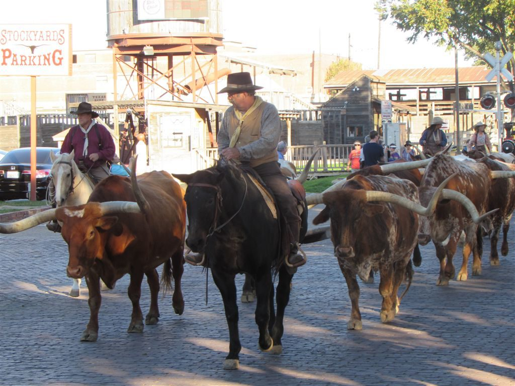 Herding Longhorns in Fort Worth