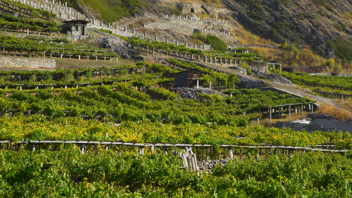 Terraced vineyards of the Aosta Valley