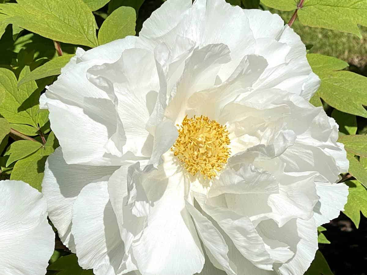 White peony at the Peony Park at Rockefeller State Park Preserve